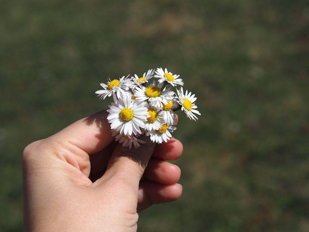 sedmikráska jarní bylinky